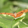 Dryas Julia (dryas iulia) Butterfly on Green Leaf — Stock Photo