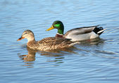 Mallard Duck Couple in the water — Stock Photo