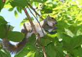 Squirrel eating mulberry on a mulberry tree — Stock Photo