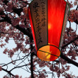 Japanese lantern and cherry blossoms — Stock Photo