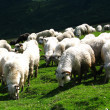 Stock Photo: Sheep flock