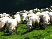 Sheep flock — Stock Photo