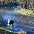 Cow next to river — Stock Photo