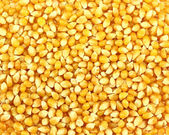 Corn grains — Photo