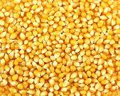Grãos de milho — Foto Stock