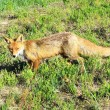 Stock Photo: Skinny fox