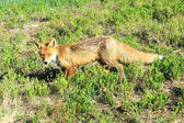 Skinny fox — Stock Photo