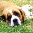 Stock Photo: Saint Bernard dog