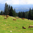 Cows on meadow in Transylvania, Romania — Stock Photo #29307007
