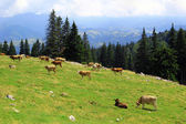 Cows on meadow in Transylvania, Romania — Stock Photo