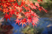 Japanese maple tree leaves ( momiji ) — Stock Photo
