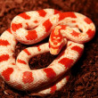 Snake (corn snakes - albino) - Stock Photo
