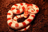 Snake (corn snakes - albino) — Stock Photo