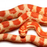 ������, ������: Corn Snake