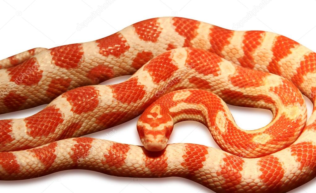 Images of Corn Snakes Corn Snake Stock Image