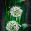 Wild garlic — Stock Photo #12718740