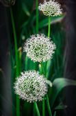 Wild garlic — Foto Stock