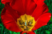 Tulip bloom — Stock fotografie