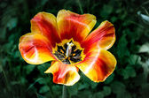 Red and yellow tulip — Stock Photo
