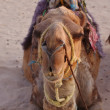 Recumbent camel — Stock Photo #14942307