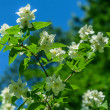 Sprig of jasmine — Stock Photo