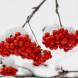 Rowanberry in the snow — Stock Photo #17214929