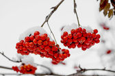 Rowanberry in the snow — Stock Photo