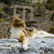 Постер, плакат: The cat is lying on the ruins