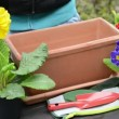 Potting soil in a planter to plant primroses — Stock Video