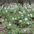 White Wood Anemone — Stock Video