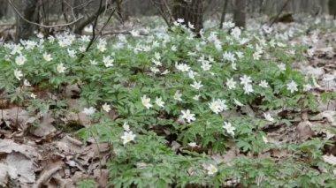 White Wood Anemone — Stock Video