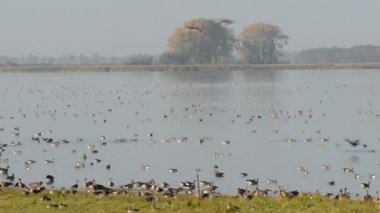 Wild geese resting on the lake at Havelland (Germany) — Wideo stockowe