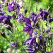 Columbine flower — Stock Video