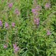 Fireweed (Chamerion angustifolium ) in the wind — Stock Video