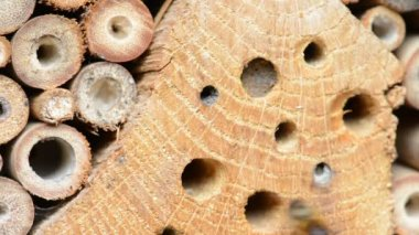 Vrouwelijke wild bee osmia bicornis closeing zijn nest. met zand. — Stockvideo