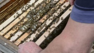 Honey comb at Hive frame and bees — Stock Video