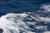 Seagull flying above the Aegean sea in Greece — Stock Photo