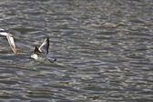 чайки, пролетел над озеро керкини в греции — Стоковое фото