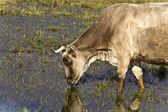 Vaca pastando no lago kerkini, na grécia — Foto Stock