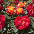 Red roses in garden at spring time — Stock Photo #14173269
