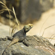 Lizard at Delos island in Greece - Stock Photo