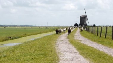 Dutch wind mill and sheep — Stock Video