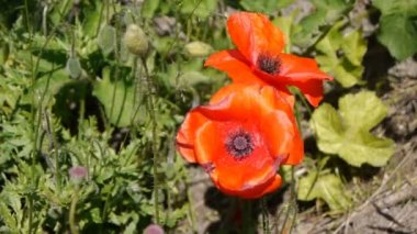 Poppy flowers — Stock Video