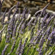 Stock Video: Close-up of waving Lavender