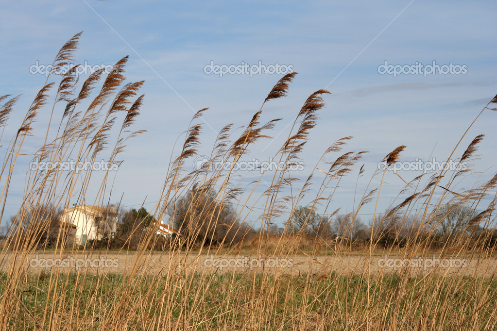 Sheaves of corn blowing gently in the wind — Stock Photo #12790563