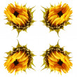 Dying sunflower isolated — Stock Photo
