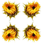 Dying sunflower isolated — Foto Stock