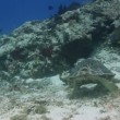 The loggerhead turtle filmed underwater whilst scuba diving in cozumel, mexico - Stock Photo