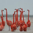 Pink flamingos in the salt lagoons, ria largartos, mexico - Stock Photo