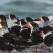 A large flock of black skimmer birds in ria largartos — Stock Video